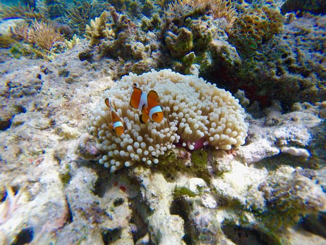 Clown fish, El Nido, Palawan