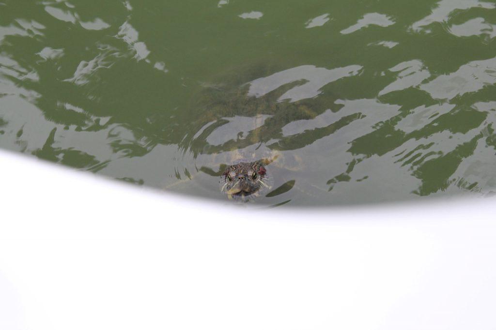 Lumphini Park Bangkok turtle