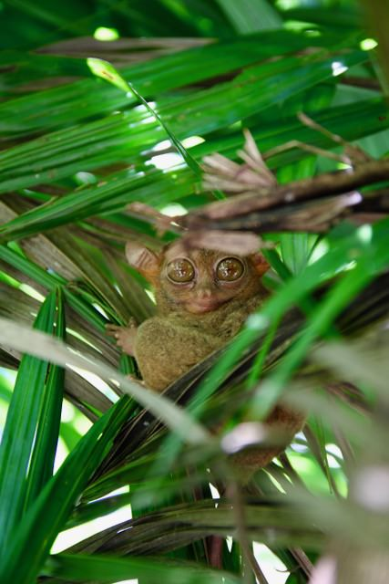 A tarsier at Tarsier Sanctuary, Bohol, Philippines